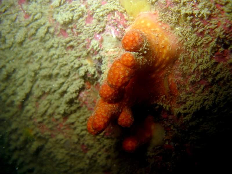 Alcyon rouge polypes rentrés