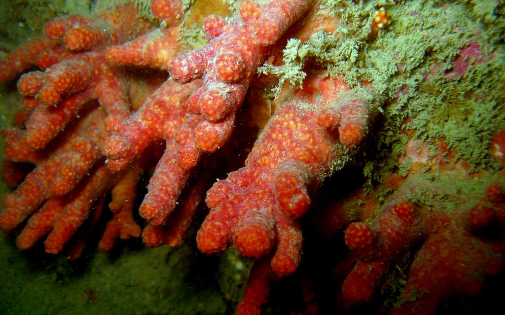 Alcyon rouge - Alcyonium glomeratum