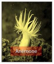 Anémone / Actiniaires