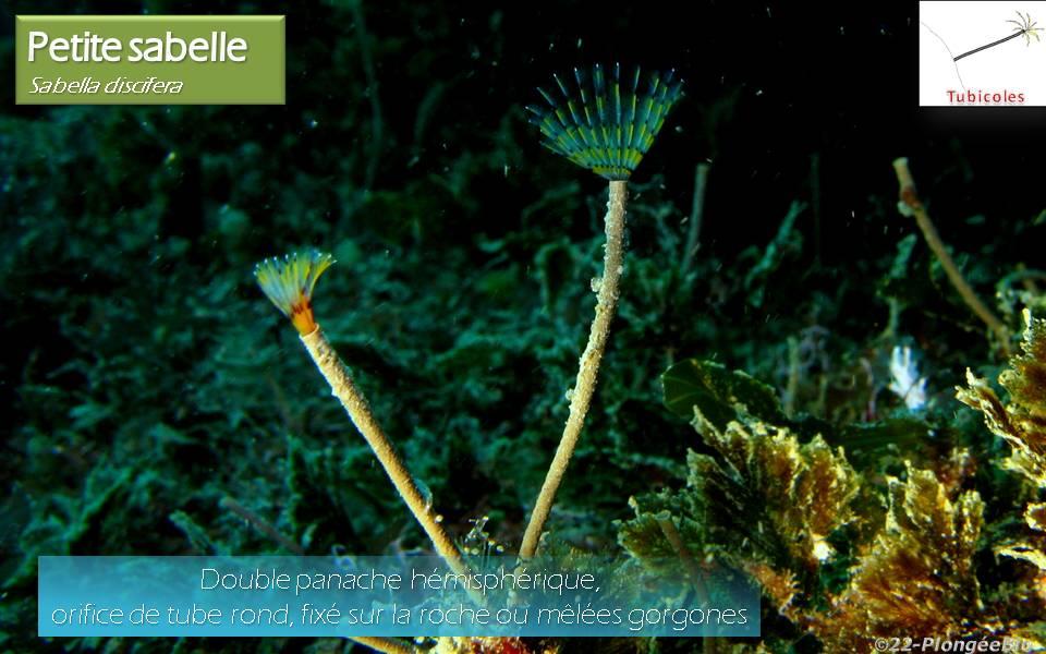 Petite sabelle - Sabella discifera