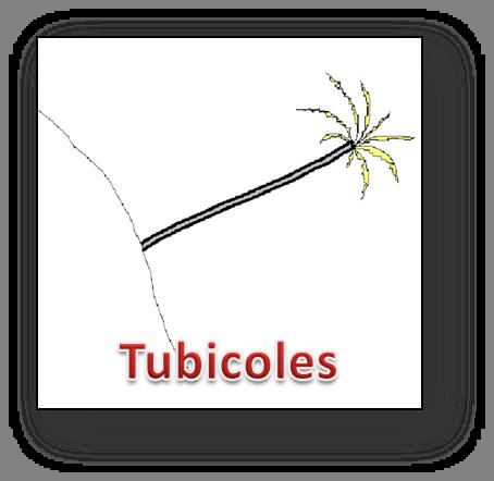 Annélide - Forme tubicole