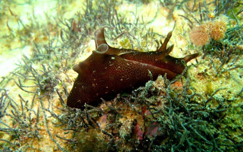 Aplysia punctata - Lièvre de mer