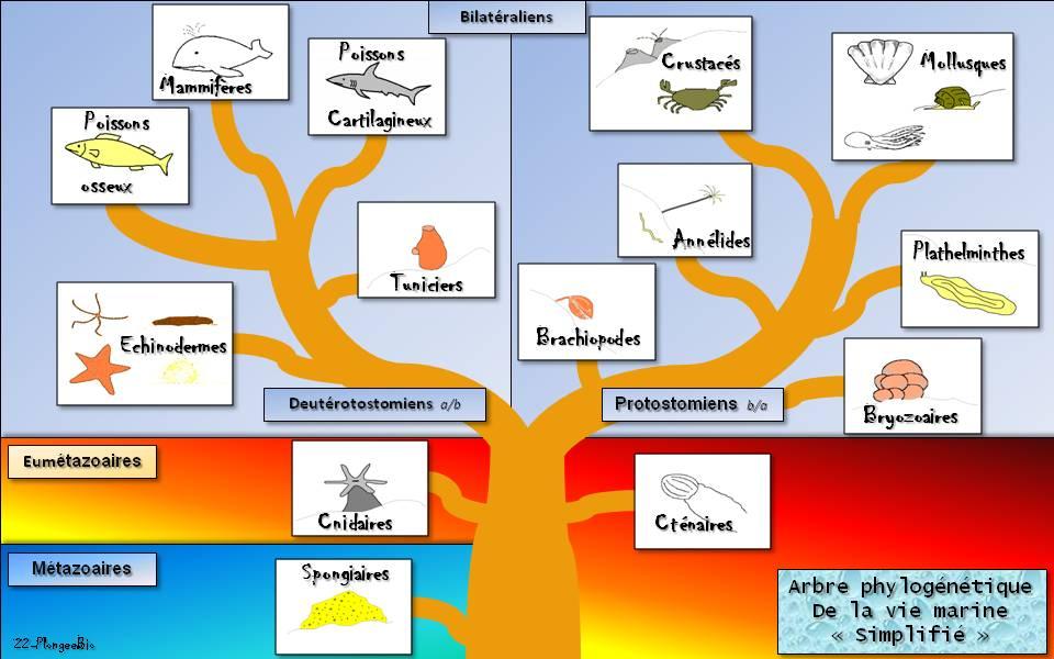 Arbre phylogénétique simplifié