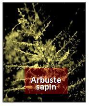 Arbuste sapin