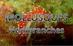 Mollusques Ophitobranches