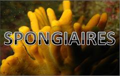 Bouton Spongiaires