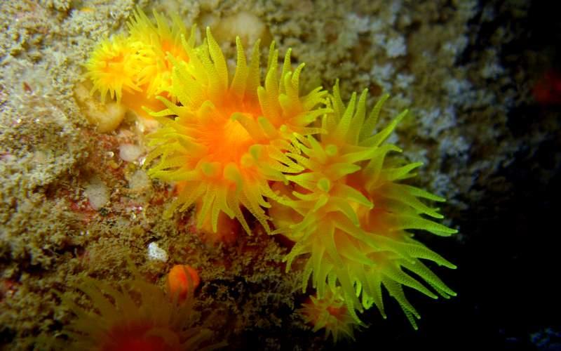 Colonie de corail jaune solitaire