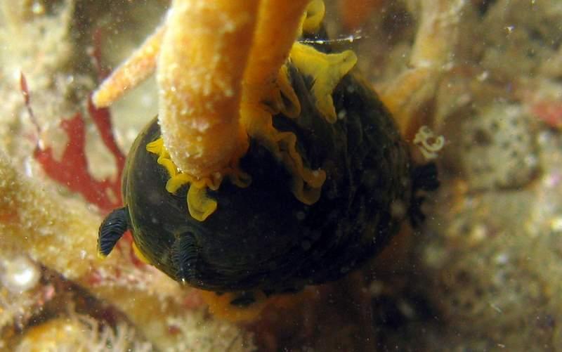 Dendrodoris limbata entrain de grignoter une Adreus