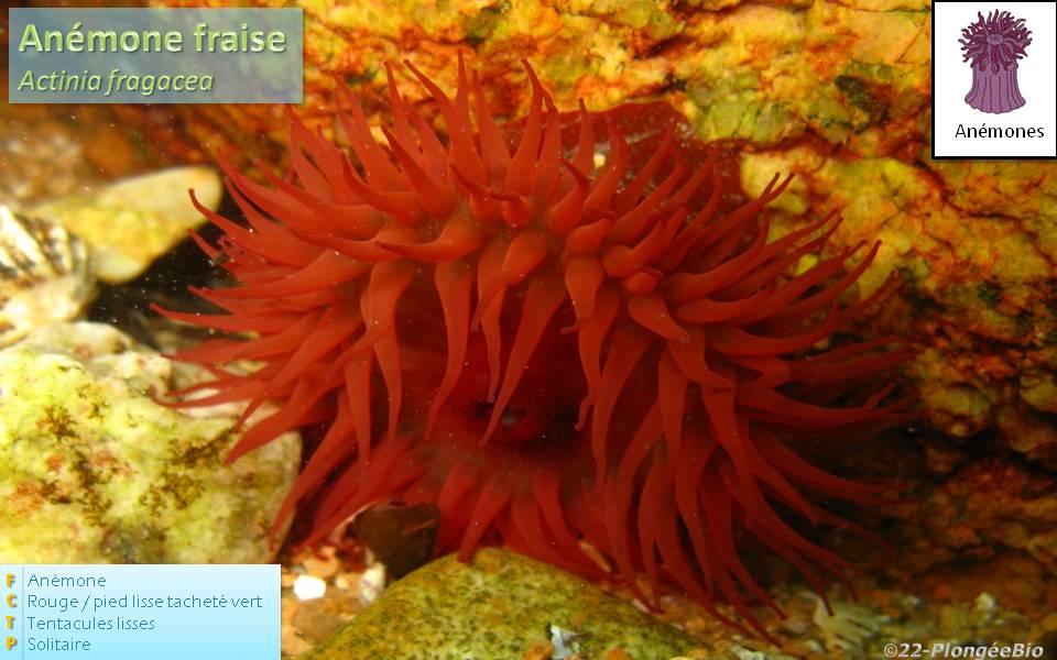 Anémone fraise - Actinia fragacea