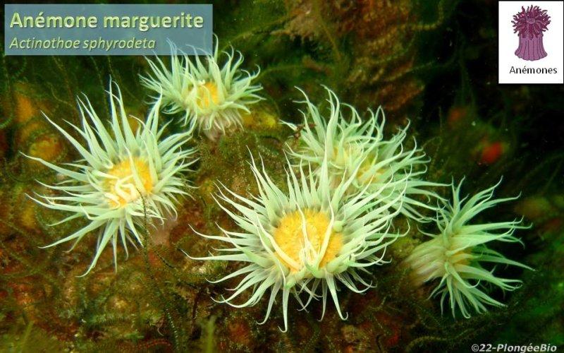 Anémône marguerite - Actinothoe sphyrodeta