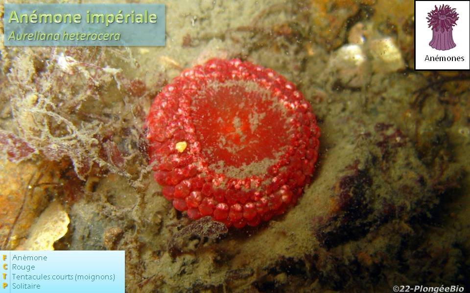 Anémône impériale - Aureliana heterocera