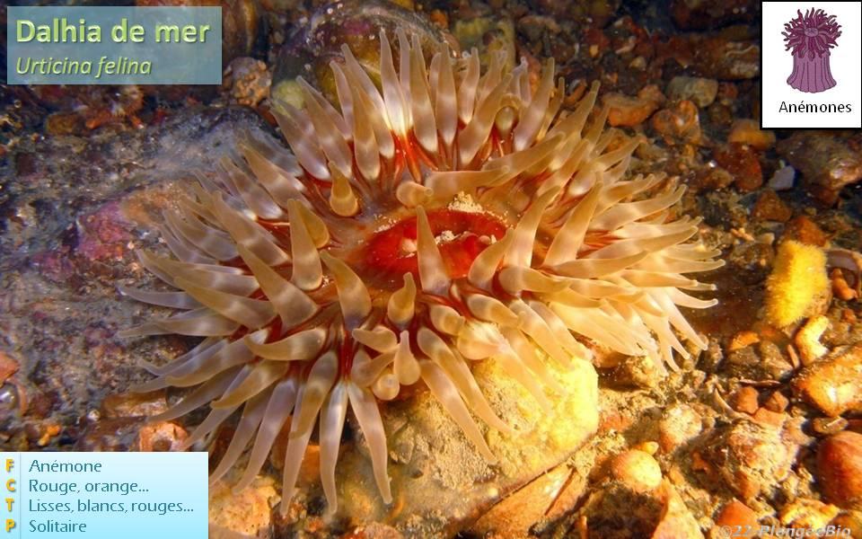 Dalhia de mer - Urticina felina