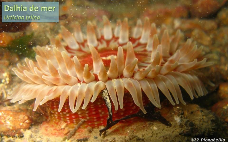 Dalhia de mer - Urticina felina de profil ...