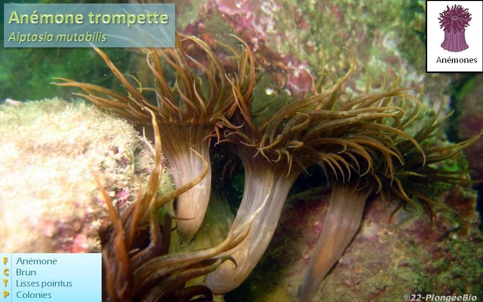 Anémône trompette - Aiptasia mutabilis