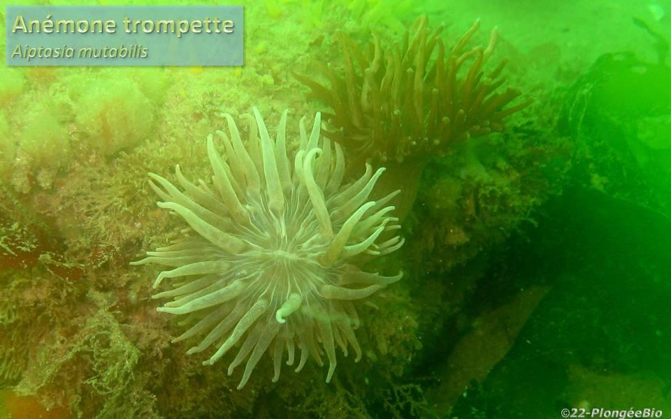 Anémône trompette - Aiptasia mutabilis blanche