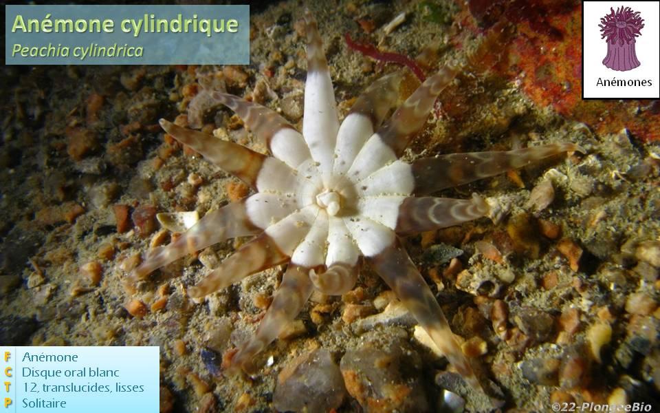 Anémône cylindrique - Peachia cylindrica
