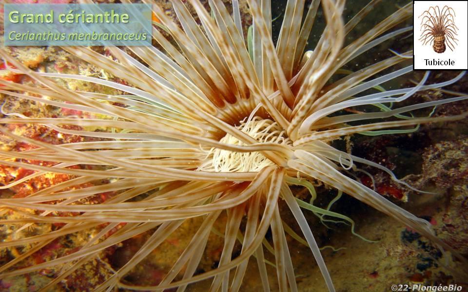 Grand cérianthe - Cerianthus menbranaceus