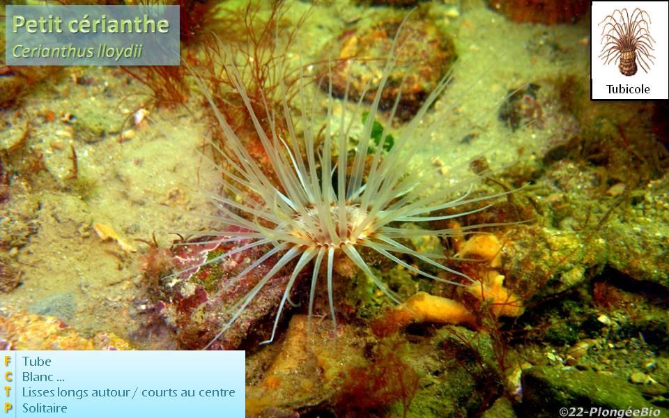 Petit cérianthe - Cerianthus lloydii
