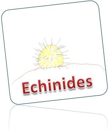 Echinides