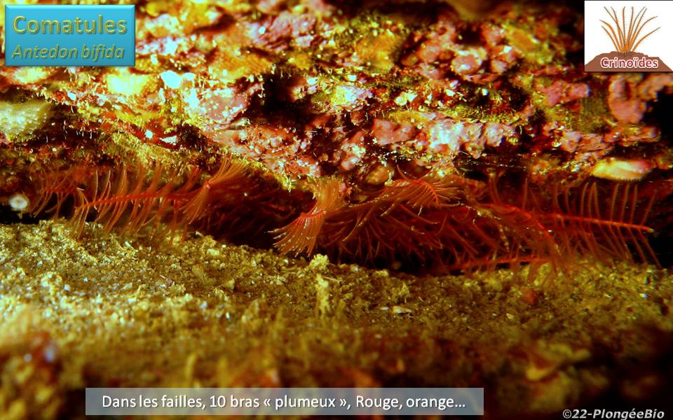 Comatule - Antedon bifida