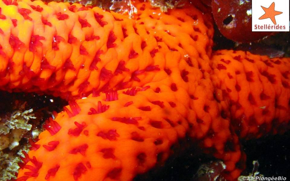 Etoile de feu - Echinaster sepositus