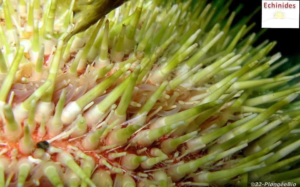 Oursin commun ou globuleux - Echinus esculentus