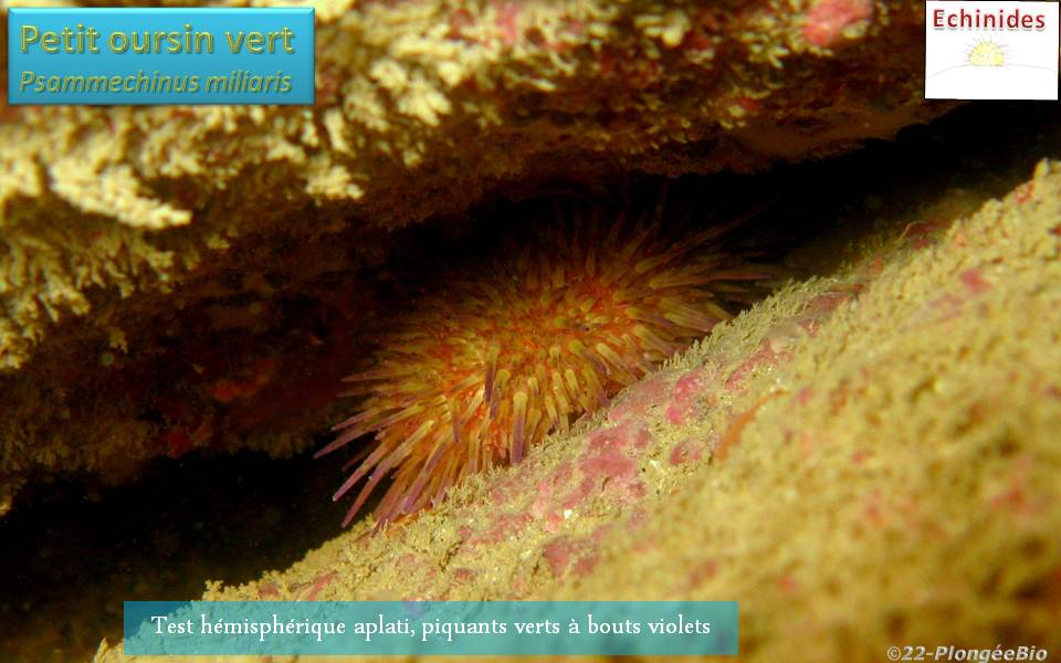 Petit oursin vert - Psammechinus miliaris