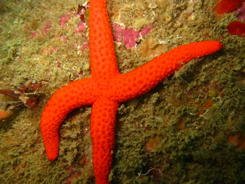 Etoile de mer rouge - Echinaster sepositus