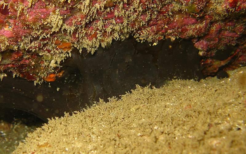 Eponge chauve souris - Dercitus bucklandi