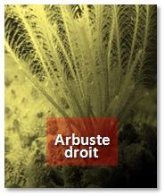 Forme arbuste droit