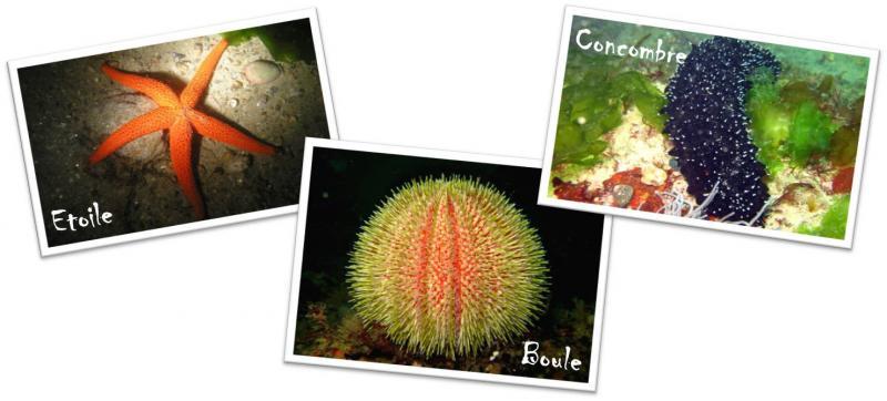 Echinodermes - 3 formes