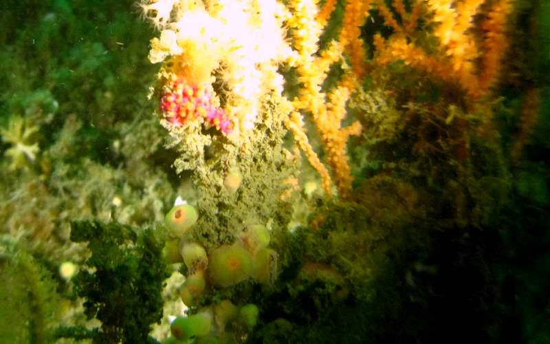 Morceau d'alcyonium coralloides!