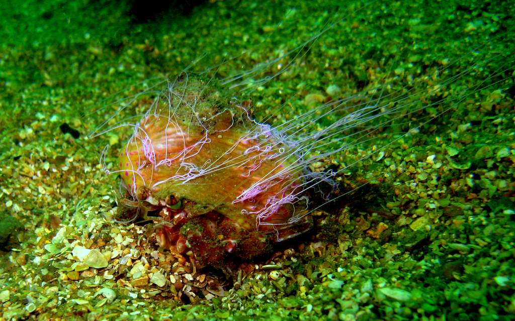Anémône manteau - Adamsia palliata