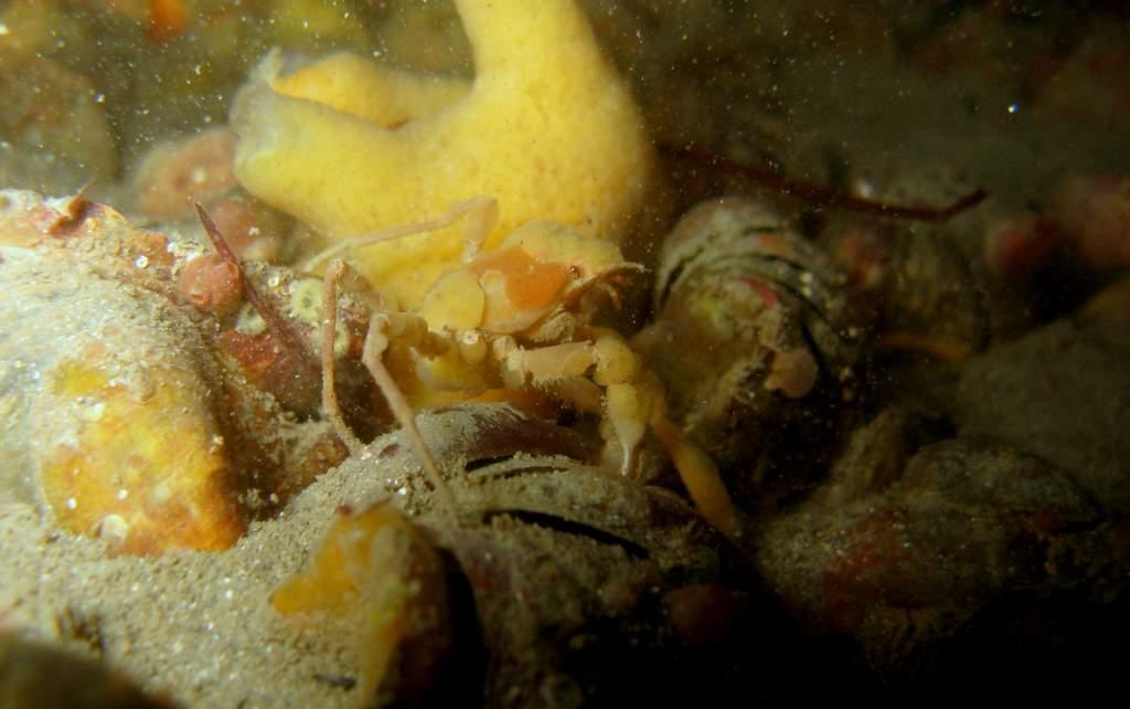 Crabe des anémônes - Inachus phalangium