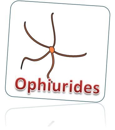 Ophiurides
