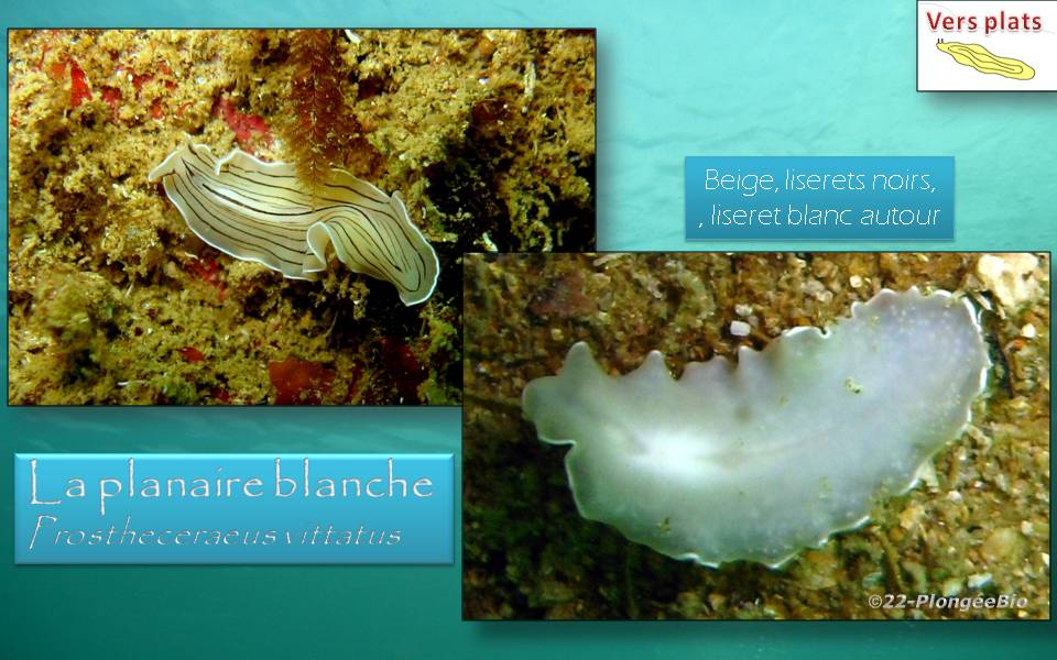 La planaire blanche - Prostheceraeus vittatus