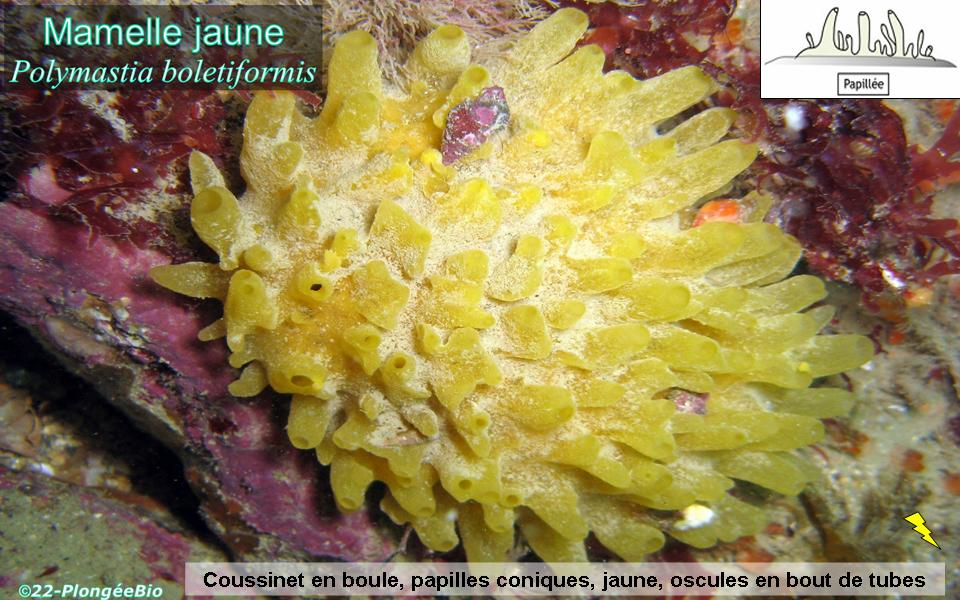 Eponge mamelle jaune - Polymastia boletiformis
