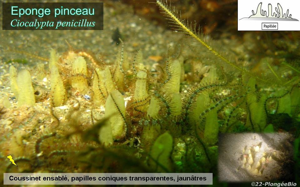 Eponge pinceau - Ciocalypta penicillus