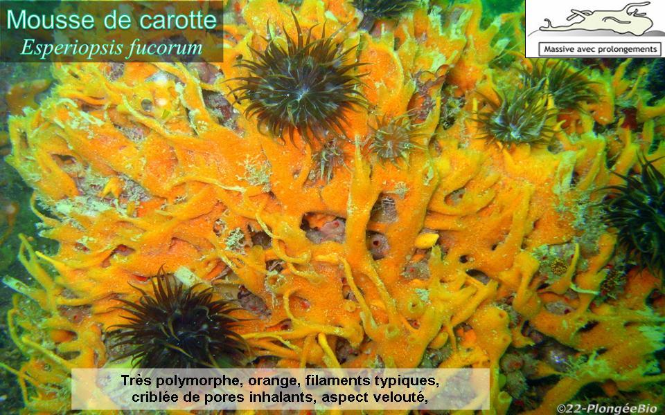 Eponge mousse de carotte - Esperiopsis fucorum
