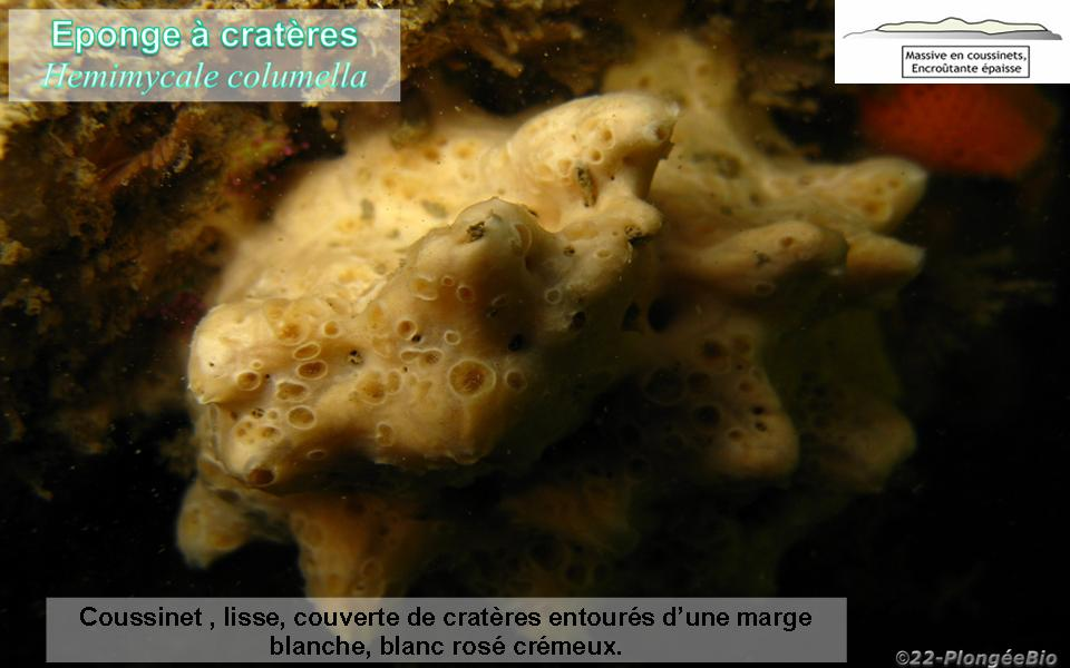 Eponge à cratères - Hemimycale columella