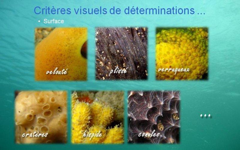 Spongiaires - Critères visuels d`identification // Surface