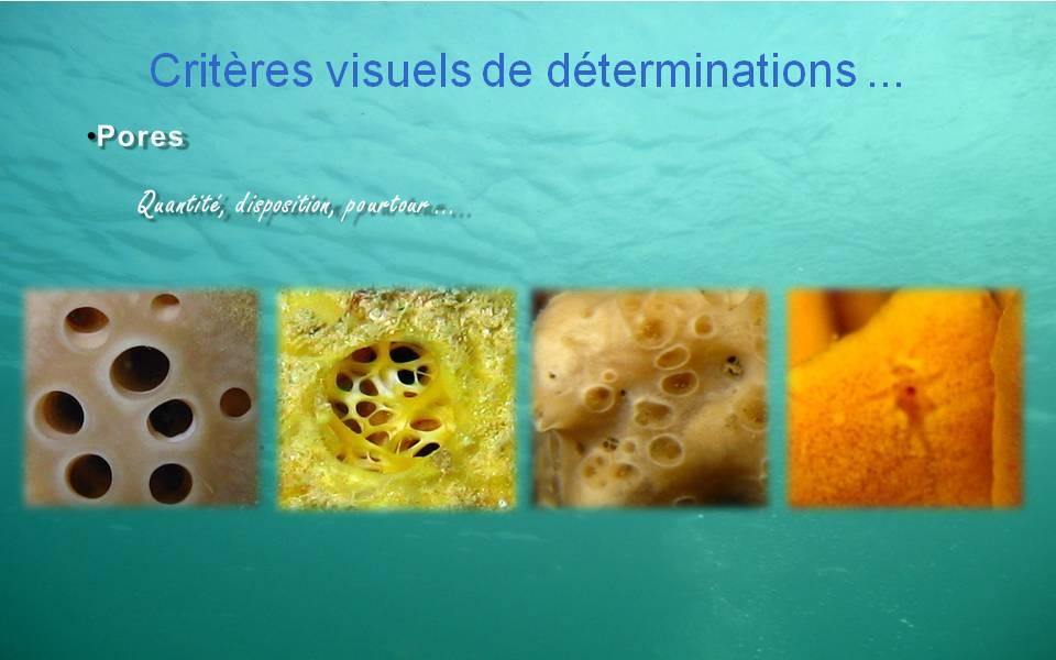 Spongiaires - Critères visuels d`identification // Pores