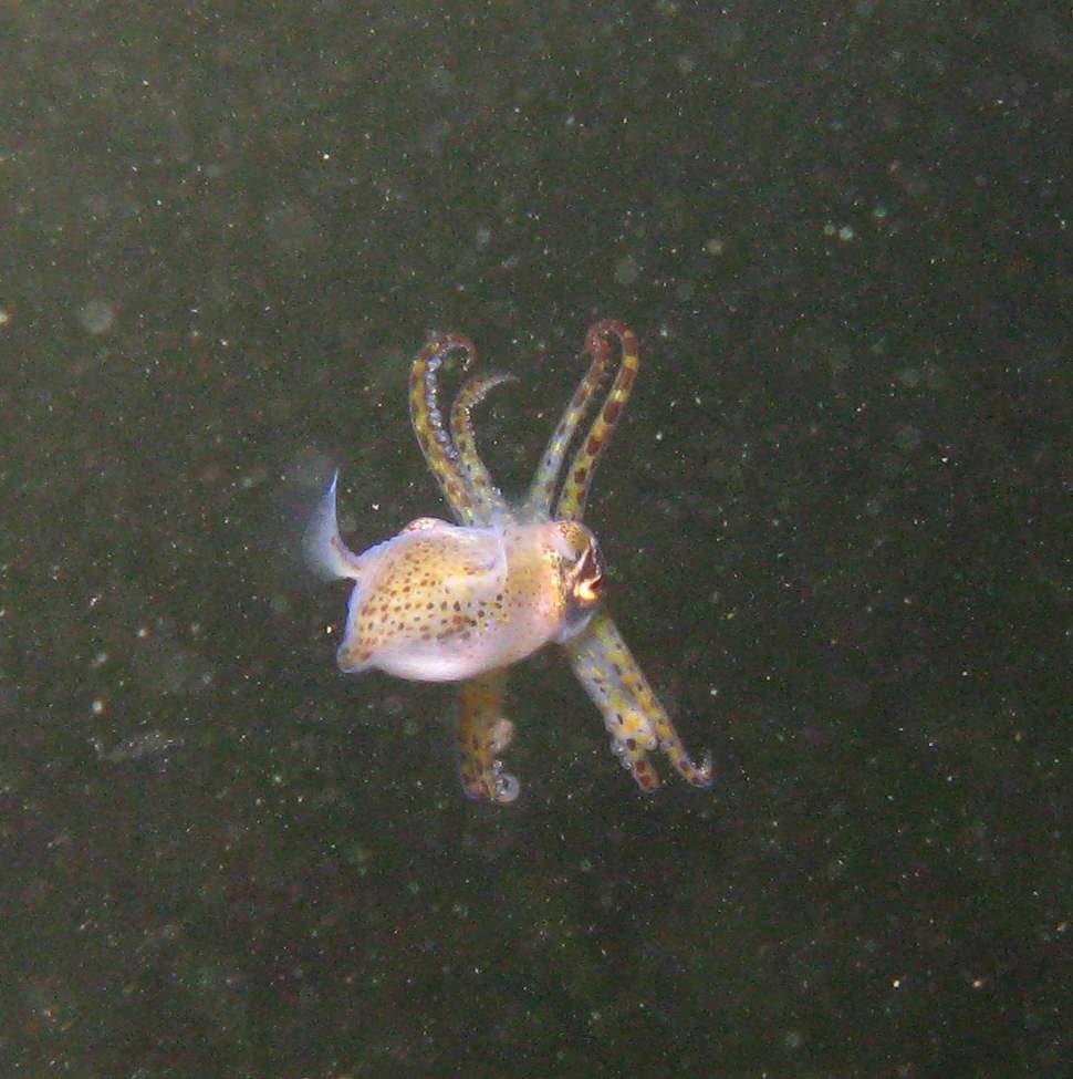 Sépiole - Sepiola atlantica