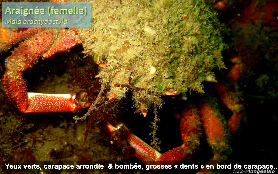 Araignée - Maja brachydactyla