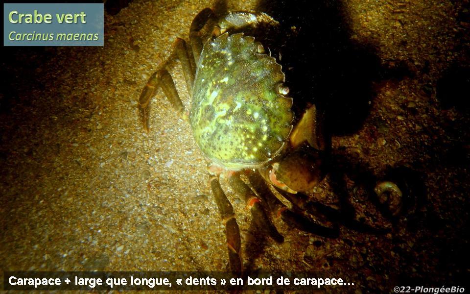 Crabe vert - Carcinus maenas