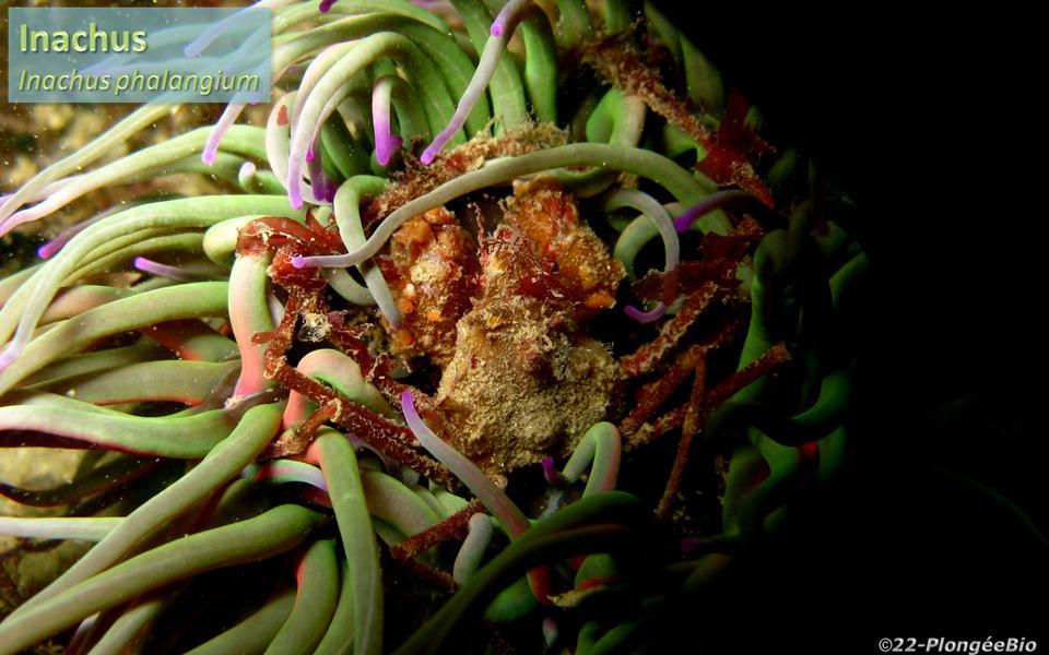 Crabe des anémones - Inachus phalangium