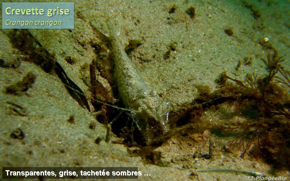 Crevette grise - Crangon crangon