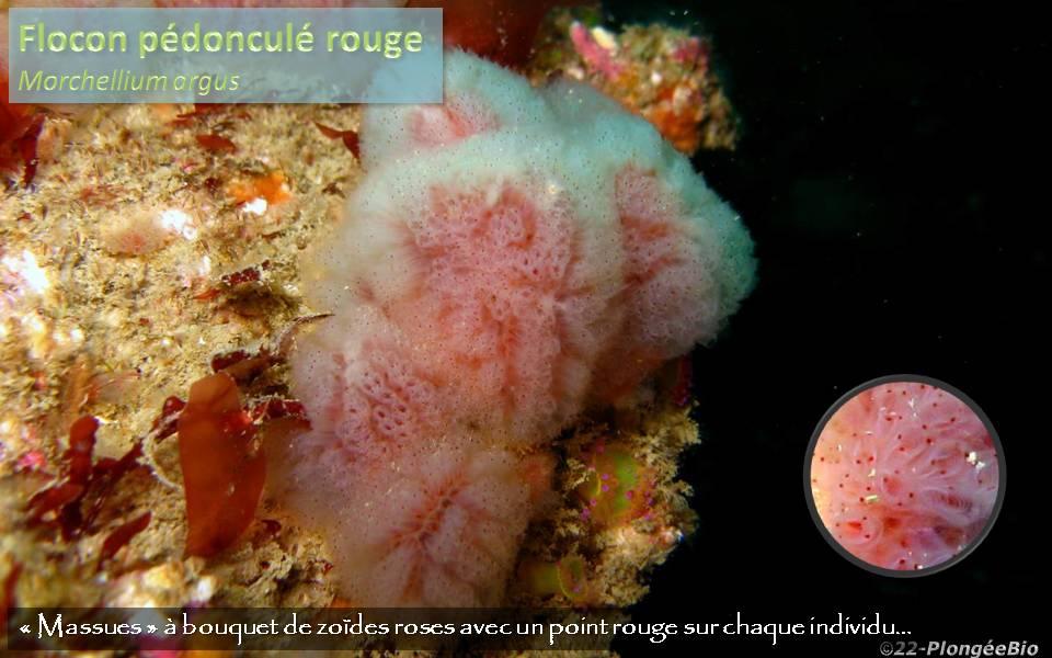 Ploncon pédonculé rouge - Morchellium argus