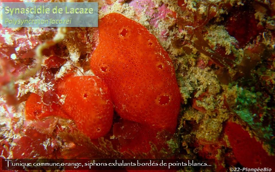 Synascidie de Lacaze - Polysyncraton lacazei