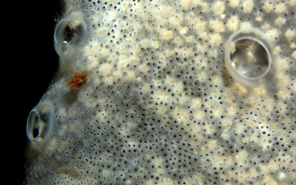 Diplosoma spongiforme - Didemne spongieux